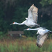 Early morning flyby with sandhill cranes