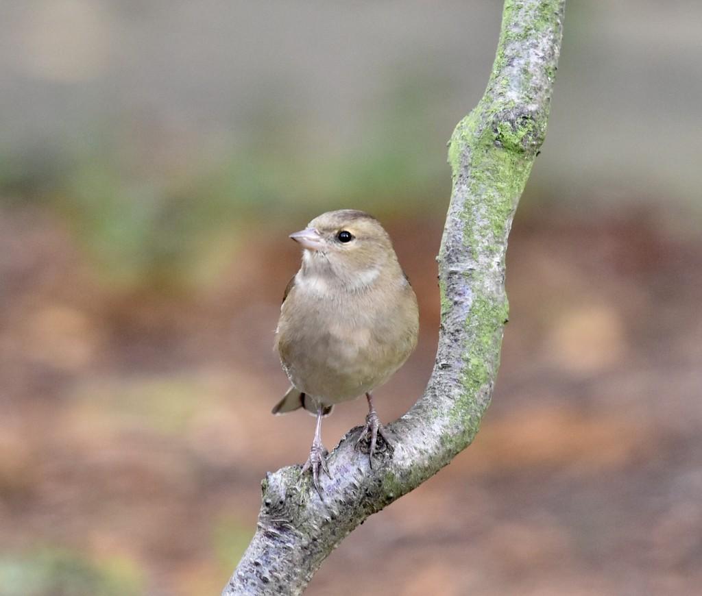 Female chaffiinch  by rosiekind