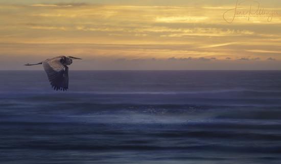 Heron Flying At Sunset by jgpittenger