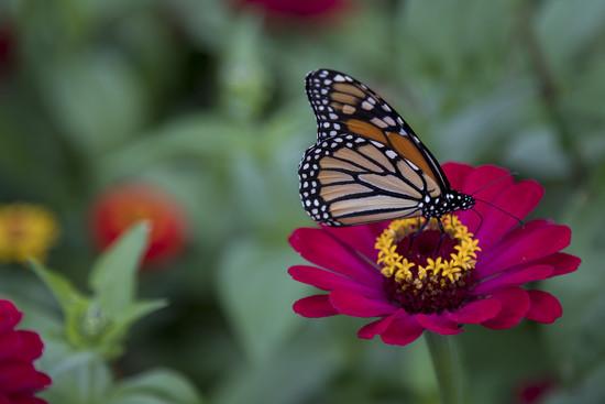 Monarch by hjbenson