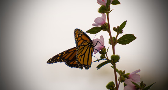 Monarch, With It's Head in the Flower! by rickster549