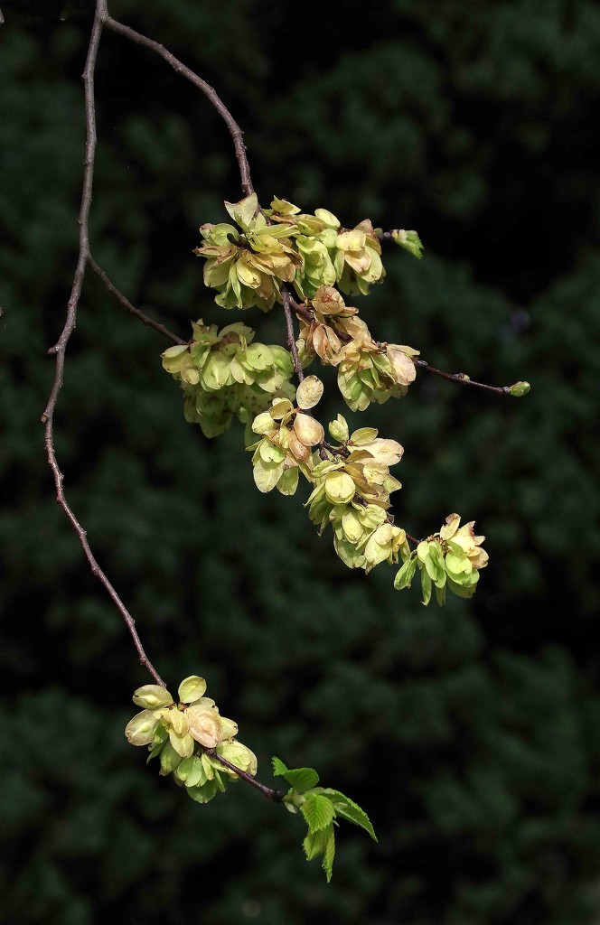Elm in spring by maureenpp