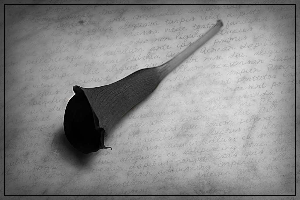 Calla Lily by olivetreeann