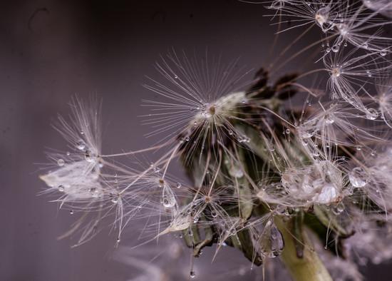 Dandelion Drops by fbailey