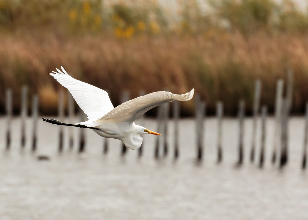 Egret by the pilings by shesnapped