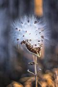 11th Oct 2017 - milkweed