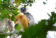 30th Sep 2017 - Sifaka