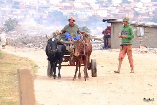 Zebu wagon by dkbarnett