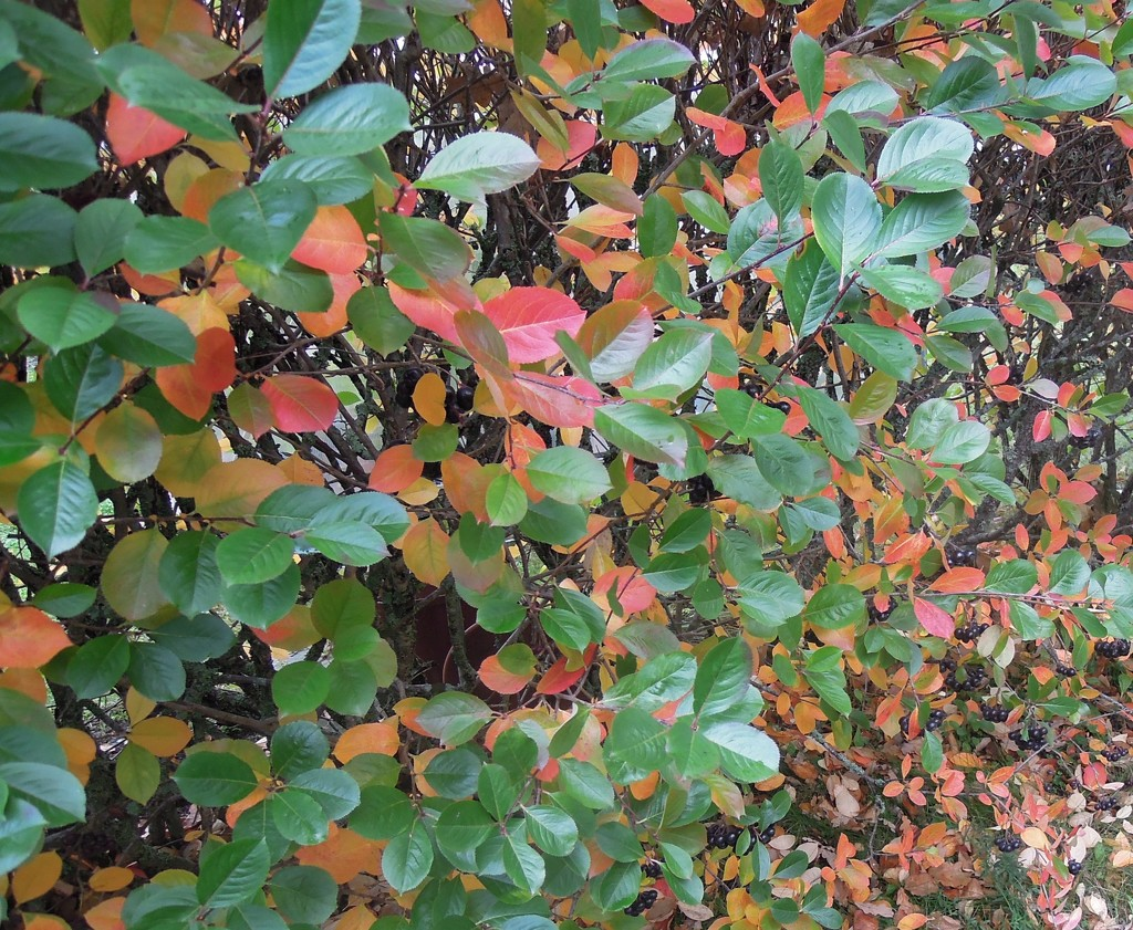 Fall colors by octogenarian