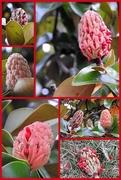 13th Oct 2017 - Magnolia fruits are ripe