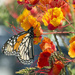 Monarch on Pride of Barbados by gaylewood