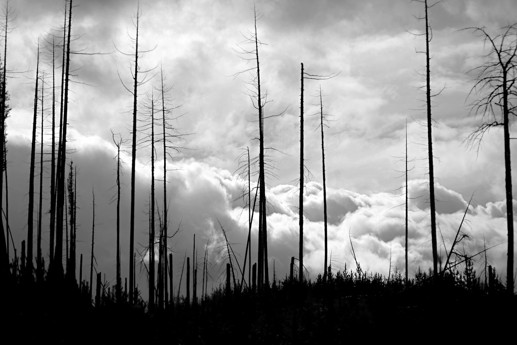 Burned Trees and Clouds by gq