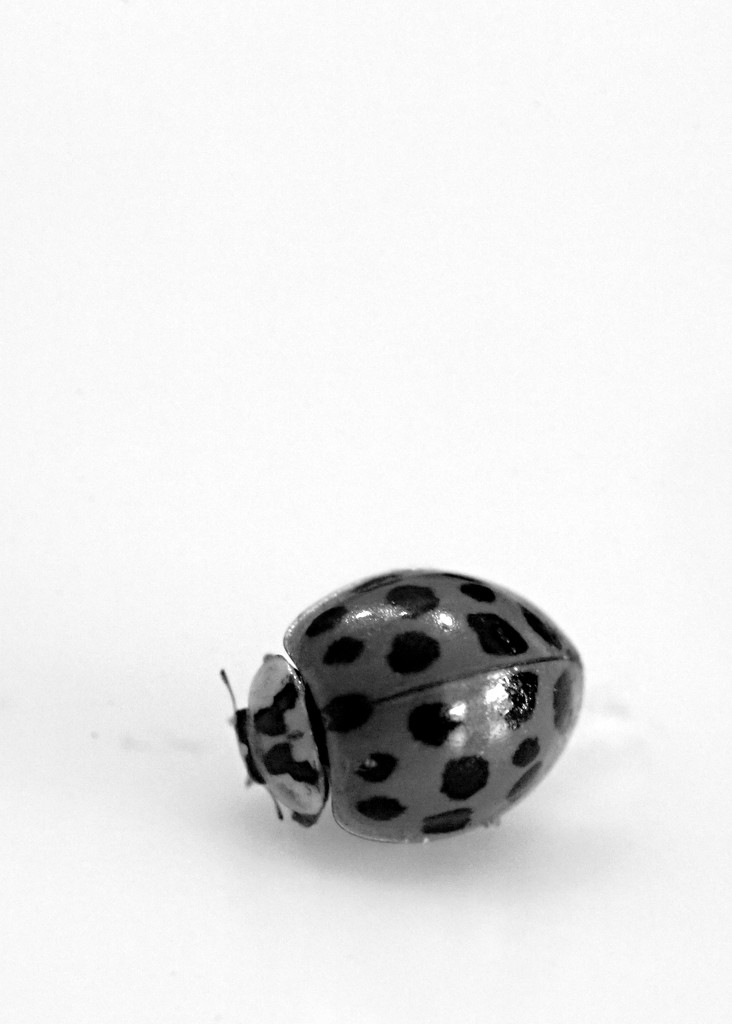 B and W Ladybird by gq