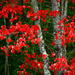 Red Leaves by gq