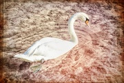 13th Oct 2017 - Swan