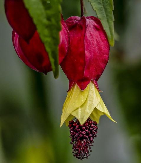 Abutilon Megapotamicum. by tonygig