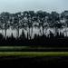 Plane trees in mist
