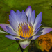 Waterlilies are slowly starting to open.