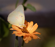 12th Oct 2017 - cabbage butterfly