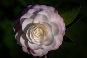 14th Oct 2017 - Mum's camellia
