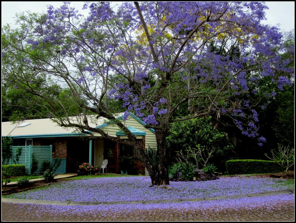 A carpet of blue from the fallen flowers of the Jackarandah tree in my front garden by 777margo