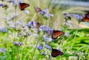 13th Oct 2017 - The Monarchs flew into the Hill Country in front of a cold front yesterday