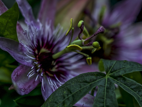 Passion Flower Macro. by tonygig