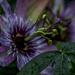 Passion Flower Macro.
