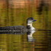 Juvenile Loon  by radiogirl