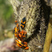 Milkweed Beetle Get-Together