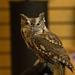 Screech Owl !