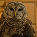Barred Owl !