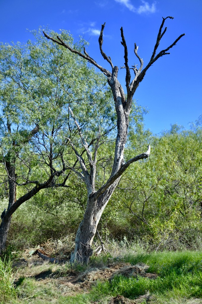 The scruffy Mesquite by louannwarren