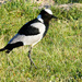 A Blacksmith Lapwing doing his rounds along the dam......
