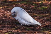 15th Oct 2017 - LIttle corella with a pine seed