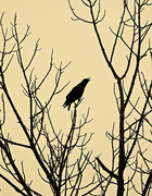 15th Oct 2017 - October Crow