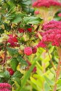 15th Oct 2017 - Raspberries cavorting with Sedum