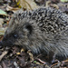 Young Hedgehog by phil_howcroft