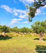 15th Oct 2017 - olive grove