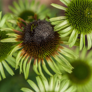 15th Oct 2017 - Echinacea's end is near