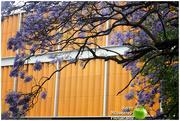 15th Oct 2017 - Jacaranda tree in Toowoomba