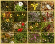 16th Oct 2017 - So many new wild flowers after the fire...........