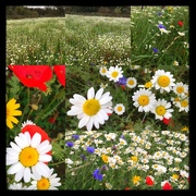 16th Oct 2017 - Wildflower meadow still going strong !