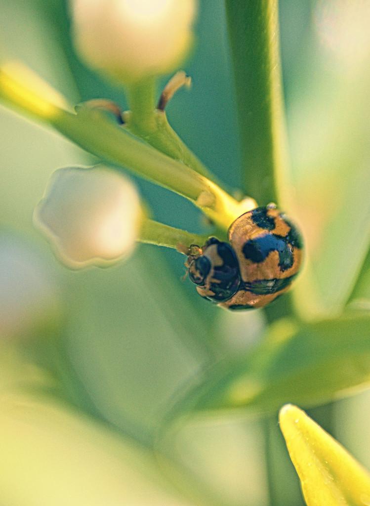 ladybug by annied