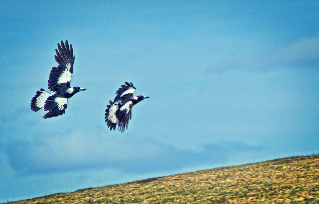 Magpie dance by annied