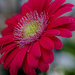 Gerbera Flower by tonygig