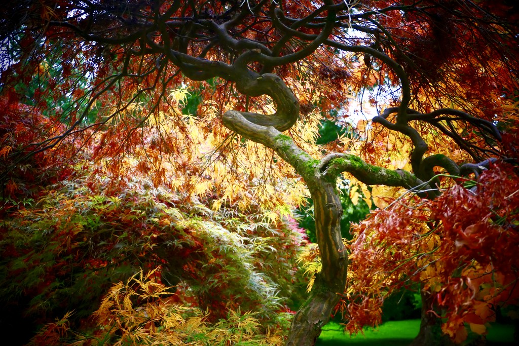 Japanese Maple by carole_sandford