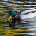 Mallard Drake by seattlite