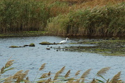 15th Oct 2017 - Great White Heron