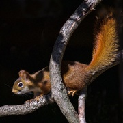 17th Oct 2017 - Ruby the American Red Squirrel